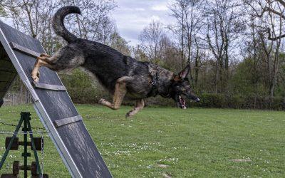 Sport auf vier Pfoten: DJJM der Schäferhunde in Heilbronn